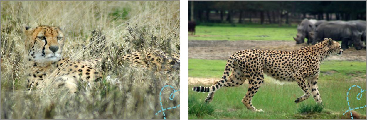 luipaarden