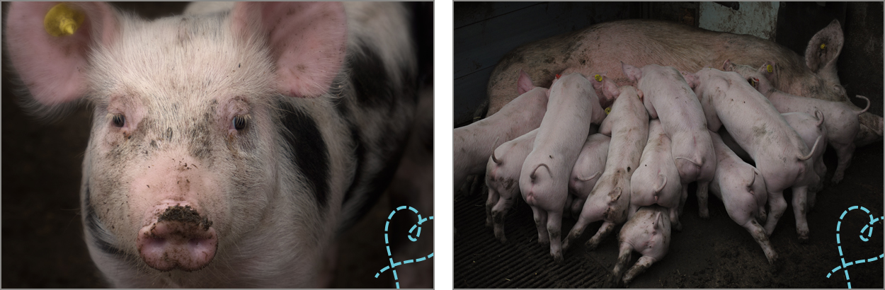 biologische varkens