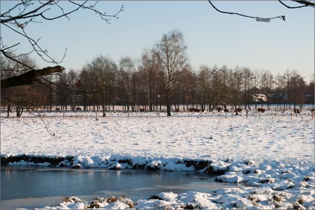 sneeuw koeien