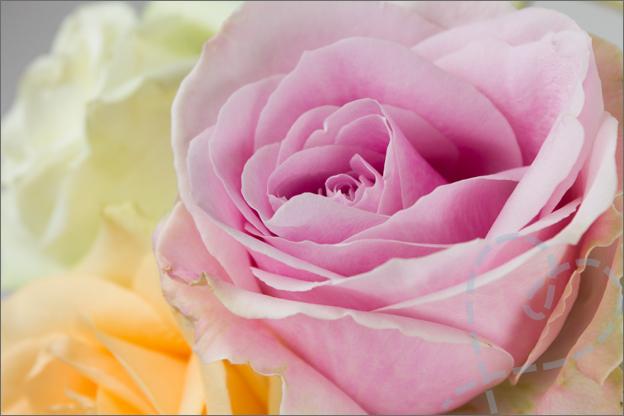 foto van bloem roos