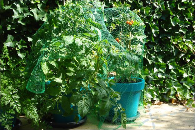 tomaten AH