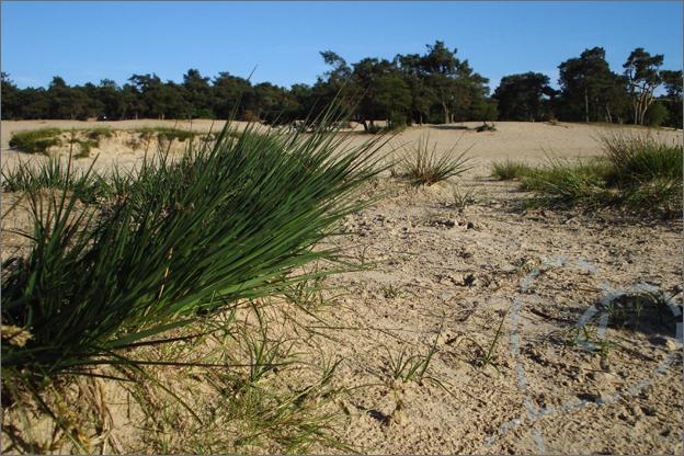 duinen loon op zand