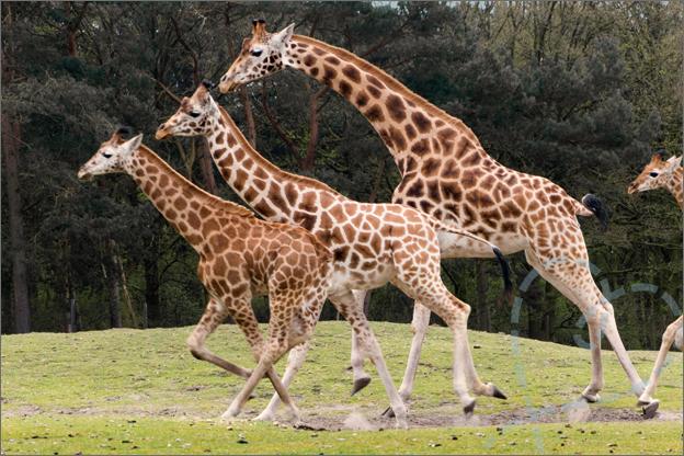 giraffe beekse bergen