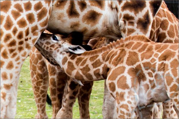giraffe drinken bij moeder