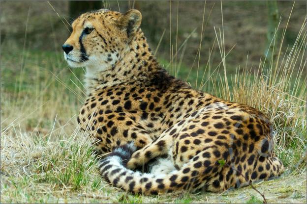 luipaard liggen