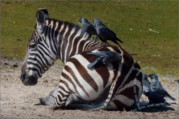 zebra beekse bergen