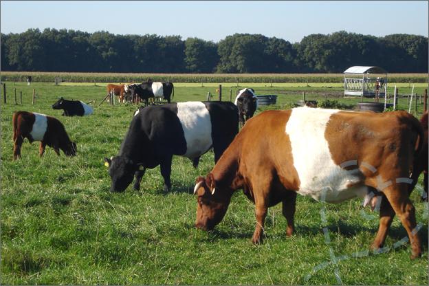 lakervelder koeien