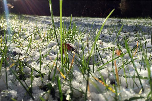 sneeuw gras