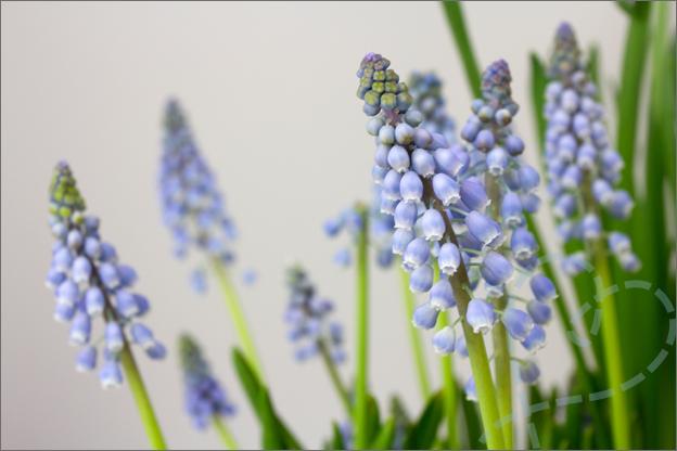 foto blauw druifjes bloem