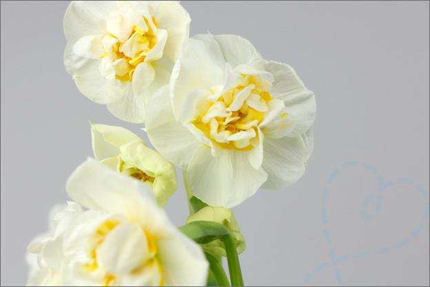 Narcis bloem foto