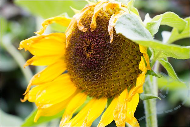 Zelfgekweekte zonnebloemen action verwelken