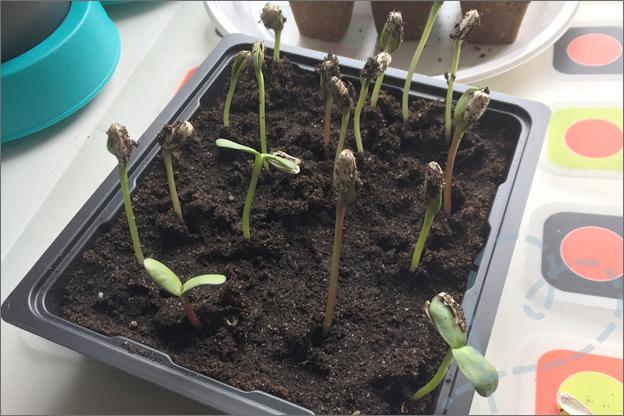zonnebloemen zelf kweken action zaaien