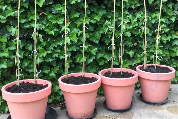 Zelfgekweekte zonnebloemen action grote pot naar buiten IJsheiligen