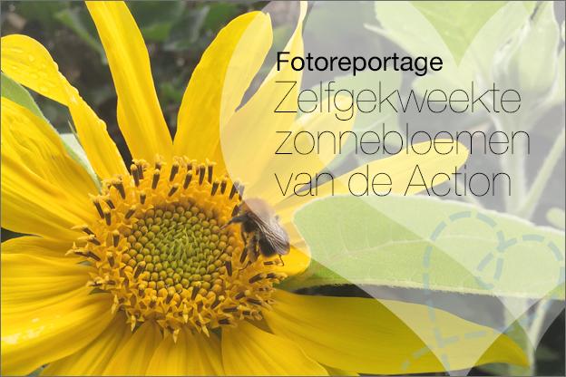 fotoverslag zelfgekweekte zonnebloemen Action