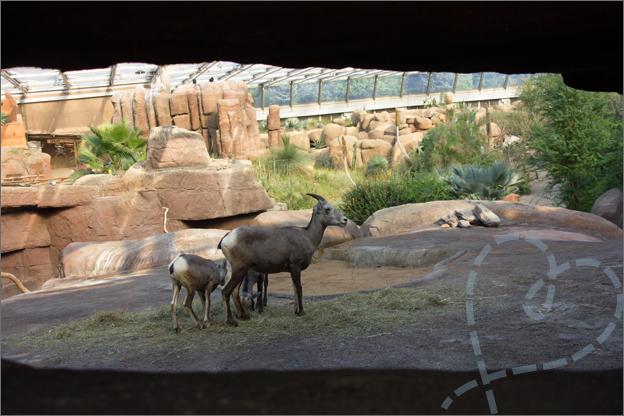 Burgers Zoo desert dikhoornschapen