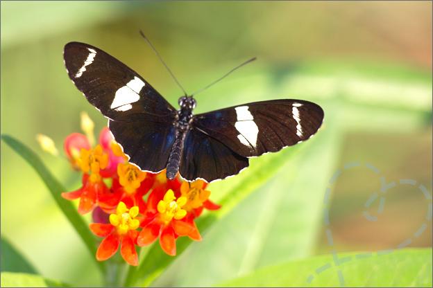 Burgers zoo Mangrove vlinder op bloemen