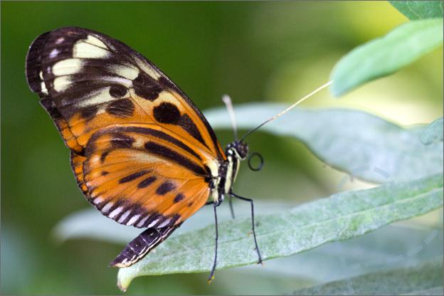 Burgers zoo Mangrove vlinder groot
