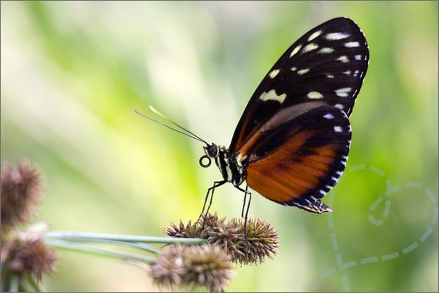 Burgers zoo Mangrove vlinder tak