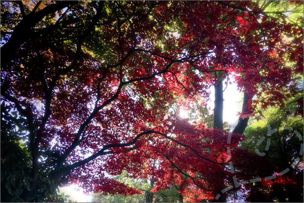 rode herfst boom