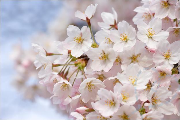 Foto bloesem veel bloemen