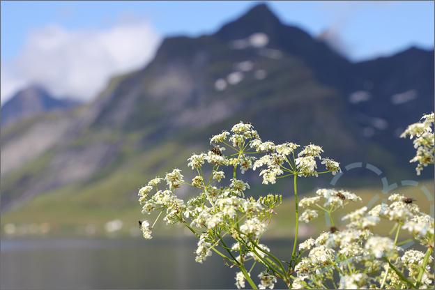 Vakantie verslag Noorwegen lofoten bloemen